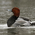 Redhead Duck Flapping Its Wings by Inspired Nature Photography Fine Art Photography