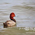 Redhead Duck by Louise Heusinkveld
