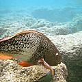 Redlip Parrotfish by Michael Peychich