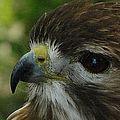 Redtail Hawk by Priscilla Richardson