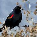 Redwing Blackbird by Betty LaRue