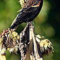 Redwinged Blackbird II by Joe Faherty