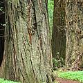 Redwood Trees Art Prints Big California Redwoods by Baslee Troutman