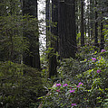 Redwoods 3 by Eva Jo Wu