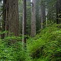 Redwoods Along Ossagon Trail by Greg Nyquist