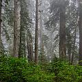 Redwoods In Breaking Mists by Greg Nyquist