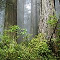 Redwoods In May by Greg Nyquist