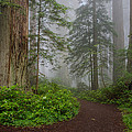 Redwoods Rising In Fog by Greg Nyquist