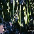 Reeds At Sunset by Venetta Archer