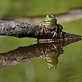 Reflecktafrog by Susan Capuano