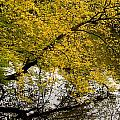 Reflecting Autumn Tree by David Resnikoff