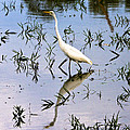Reflections Of A White Bird by Robert Selin