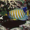 Regal Angelfish In Coral Reef by James Forte