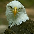 Regal Eagle Portrait by Myrna Bradshaw