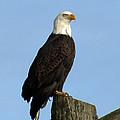 Regal Eagle by Vicki McKee