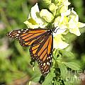 Monarch Butterfly Feeding On A Cluster Of Yellow Flowers by Jessica Foster