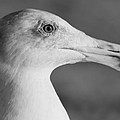 Regal Seagull by Kittysolo Photography