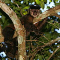 Relaxed - Brown Capuchin by Bruce J Robinson