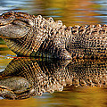 Relection Of An Alligator by Bill Dodsworth