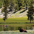 Resting Buffalo By Pond by Carol Groenen