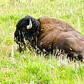Resting Buffalo by Jon Berghoff