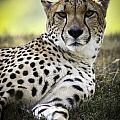Resting Cheetah by Chad Davis