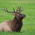 Resting Elk by Joye Ardyn Durham
