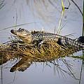 Resting Gator by Rick Mann
