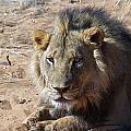 Resting Male Lion by David Kleinsasser