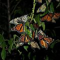 Resting Monarchs by Thomas Woolworth
