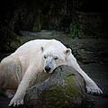 Resting Polar by Karol Livote