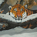 Resting Tiger by Tom Luca
