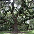 Resurrection Oak by Dodie Ulery