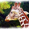 Reticulated Giraffe by Judi Bagwell
