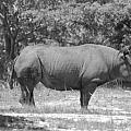 Rhino In Black And White by Rob Hans