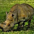 Rhinoceros 101 by Dean Wittle