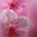 Rhododendron Dreams by James Eddy