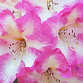 Rhododendron- Hot Pink by Regina Geoghan