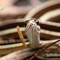 Ribbon Snake by Travis Truelove