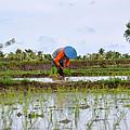 Rice Field  by Kamel Rekouane