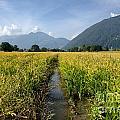 Rice Field by Mats Silvan