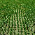 Rice Field by Perry Van Munster