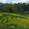 Rice Fields In Agricultural Bali by Brooke Whatnall