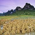 Rice, Yangshuo, Guangxi, China by Bilderbuch