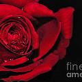 Rich Red Rose by Kaye Menner