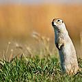Richardson's Ground Squirrel by Chris ODonoghue