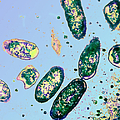 Rickettsia Rickettsii by ASM/Science Source