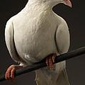 Ring-necked Dove by Raul Gonzalez Perez