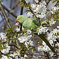 Ring-necked Parakeet by Bob Kemp