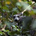 Ring-tailed Lemur In A Tree by Alexis Rosenfeld